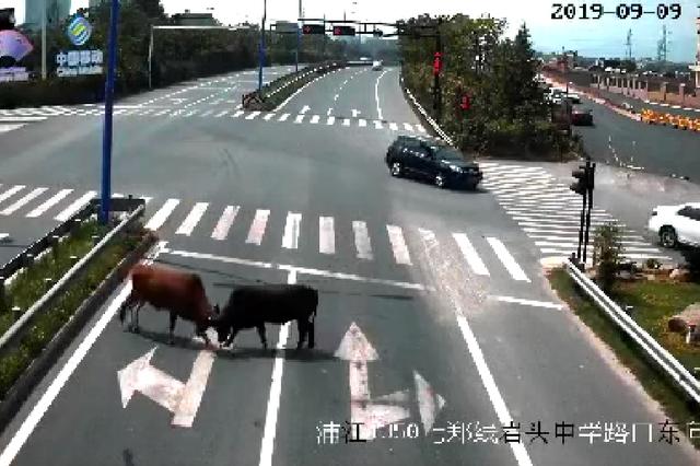 浙江金华两头牛横穿马路 路中互斗不相让