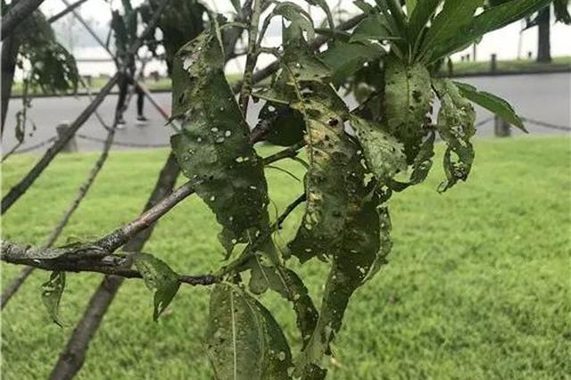 在西湖边散步的大伯很痛心 白堤的桃叶都被虫吃光了