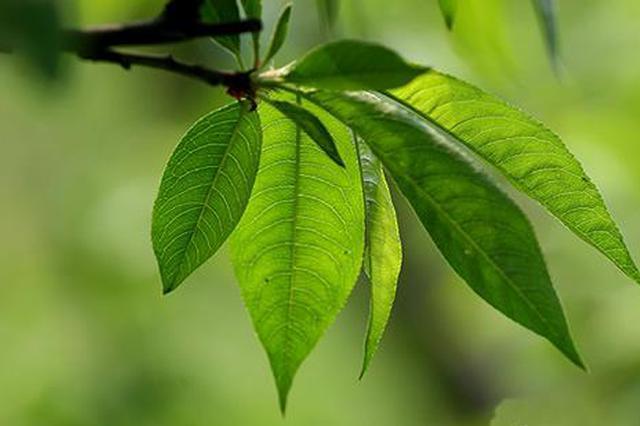 西湖白堤桃树叶子被虫子咬穿引关注 回应:不是虫害
