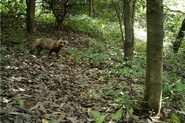 浙江安吉红外相机拍到一对母子野生貉 全省尚属首例