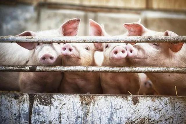 支持力度超大 浙江推进生猪产业高质量发展