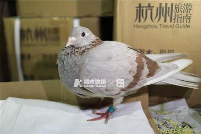浙江宾馆飞来一只受伤信鸽 右脚绑着未实名编号