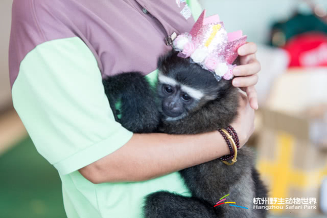长臂猿夫妇喜得二胎 杭州野生动物世界再添一宝