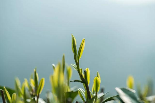 今年还能喝上龙井新茶吗 杭州部分茶企正在抓紧复工