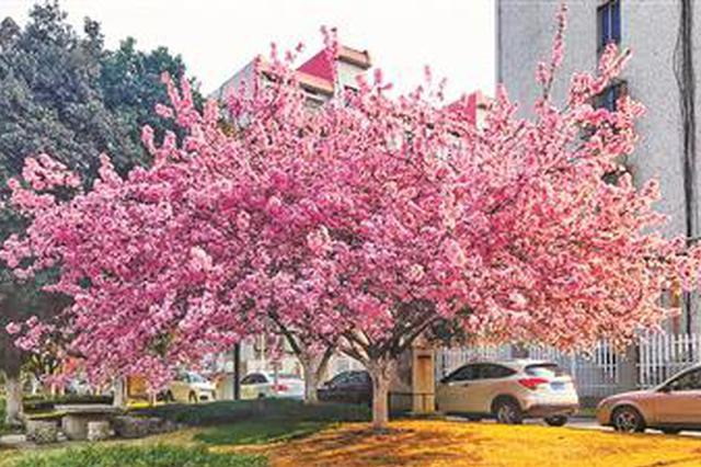 杭州全城花中神仙都开了 花开场景甚是壮观