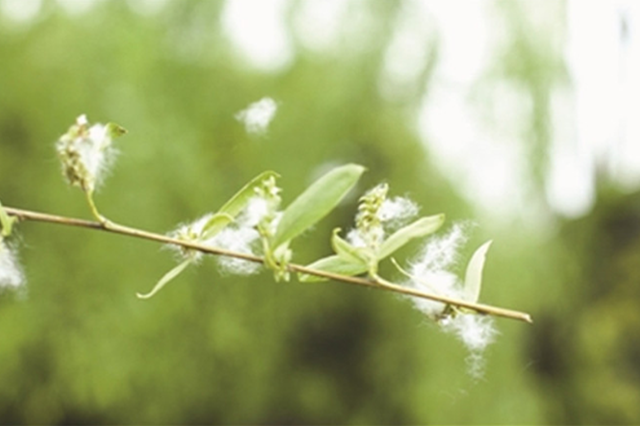 杭州的飞絮季即将到来 园林绿化部门让飞絮尽量少一些