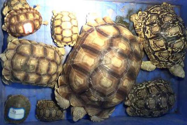浙14名龟友售31只稀有乌龟被捕 出门遛龟想想就有趣