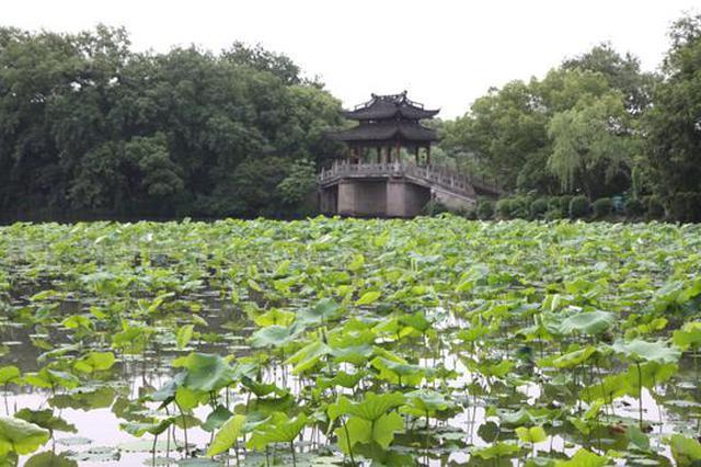 藏在荷叶下像个毛笔头 杭州西湖第一朵荷花已经盛开