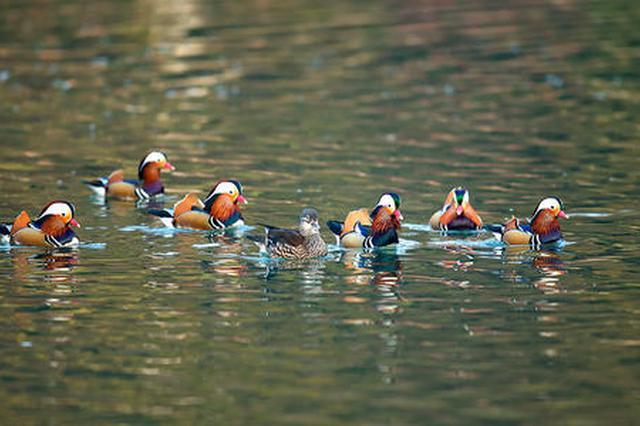 杭州西湖今年出生鸳鸯宝宝创纪录 志愿者提醒勿惊扰