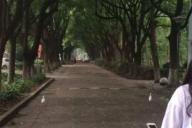 浙江1高校有一条路栖息着很多白鹭 平时不打伞不敢走