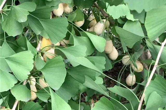 近期这种有毒苦果大量出现 很多杭州人还喜欢捡来吃