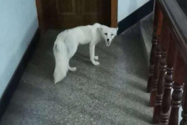 浙江1户人家家里来了只白狐 3天里蹭吃蹭喝占阁楼做窝