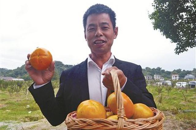 """慈溪果农引种""""太秋甜柿""""获丰收 吸引不少客采购"""