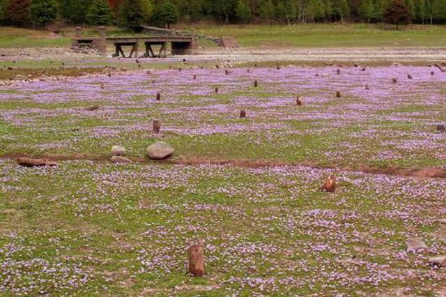 亭下水库现蓼子草花毯景观 淡紫色的花海蔚为壮观