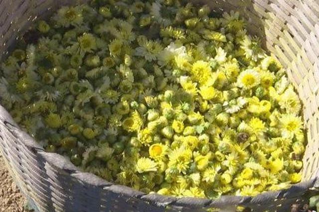 大雷山有机作物转型首年获丰收 具药用价值有机杭白菊