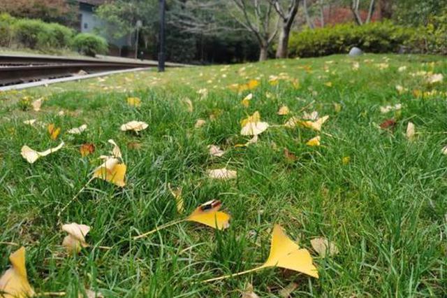 杭州每年必打卡的银杏和红枫观赏地图 先推荐这些