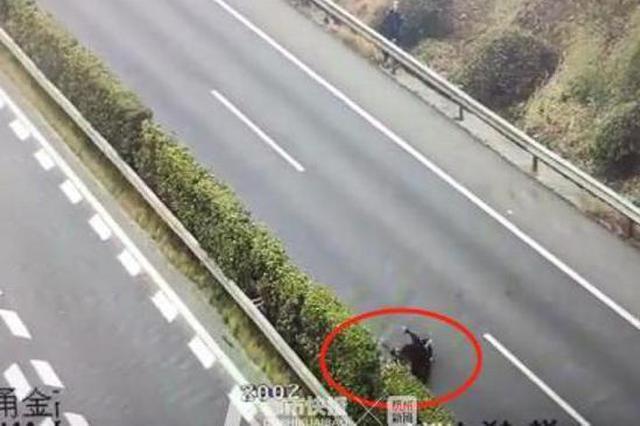 浙1暴躁牛闯上高速公路 横冲直闯还顶伤人被一枪击毙