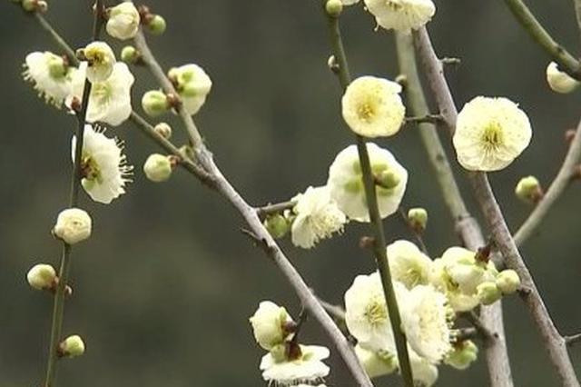 北仑九峰山梅园梅花上央视 竞相开放迎风报春的美景