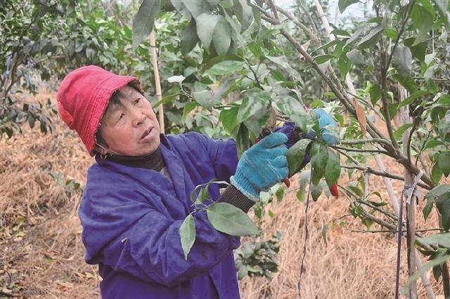 象山工人们正忙着修剪柑橘枝条 落实柑橘春季管理