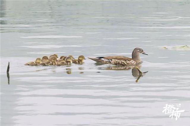 今年杭州西湖第一窝小鸳鸯亮相 有空不妨去打个招呼