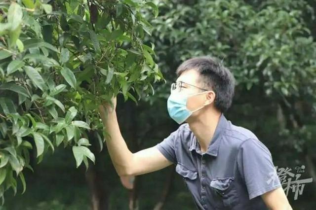 杭州少儿公园桂花进入圆珠期 预计下周将开出第一朵花