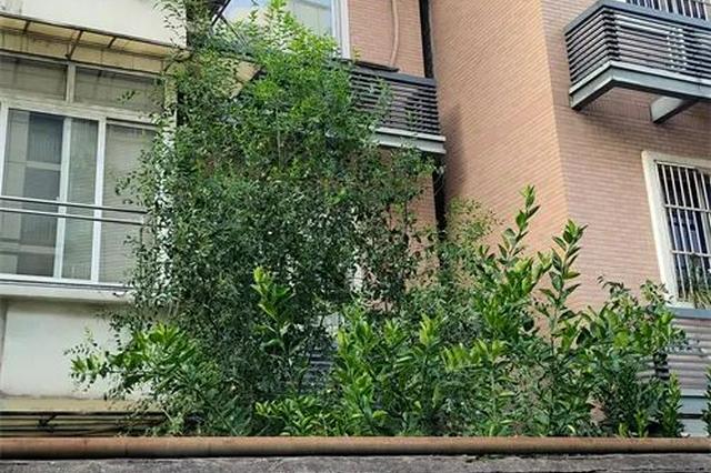 杭州一小区枣树顶起地面 园文局解答小区树木修剪流程