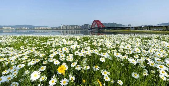 随着温度日益升高 梅山红桥百亩花海也进入盛放期