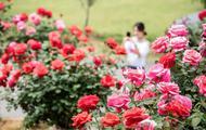 源东30余亩玫瑰竞相绽放