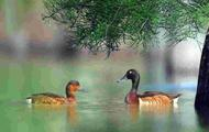 内蒙古发现极濒危物种青头潜鸭