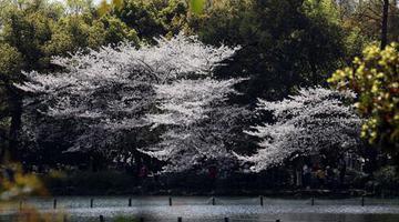 浙江多地樱花绽放烂漫如雪