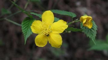 宁波植物专家发现珍稀植物