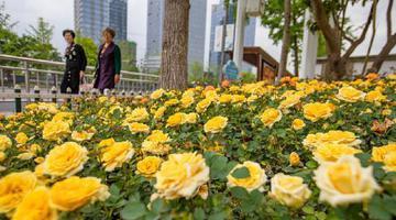 铁路宁波站周边的道路两侧花卉五彩斑斓