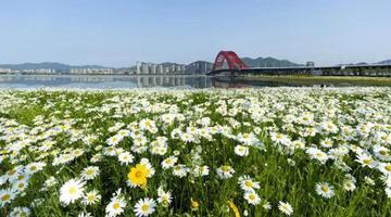 梅山红桥百亩花海也进入盛放期
