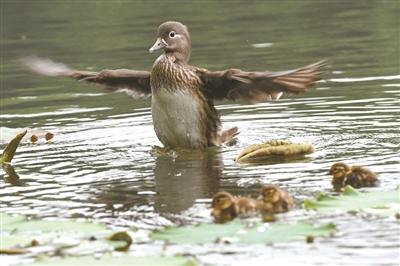 第二窝鸳鸯宝宝有4只,其中有一只被夜鹭吃掉了。