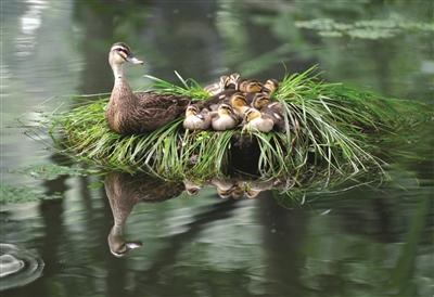 """住湖景房的斑嘴鸭,拍摄于曲院风荷。 快拍小友""""杭州老潘"""" 摄"""