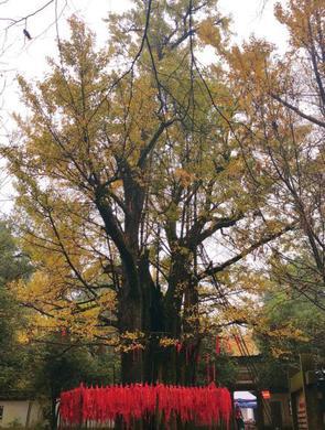 杭州西湖边的千年银杏变装啦