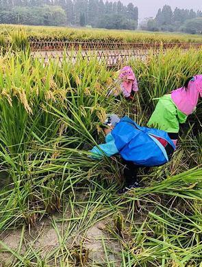 杭州幼儿园小朋友冒雨割水稻