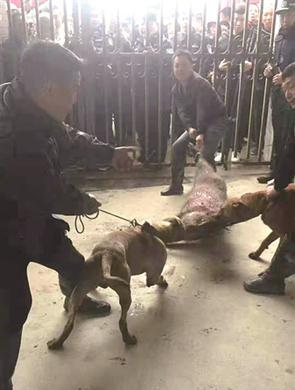 5只野猪齐闯台州城