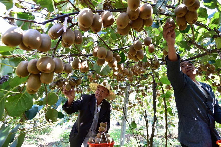 义乌特色水果带旺采摘游