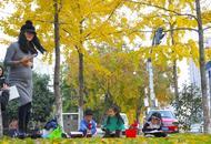 温州:银杏换金装
