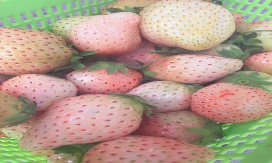 """""""网红草莓""""白雪公主"""