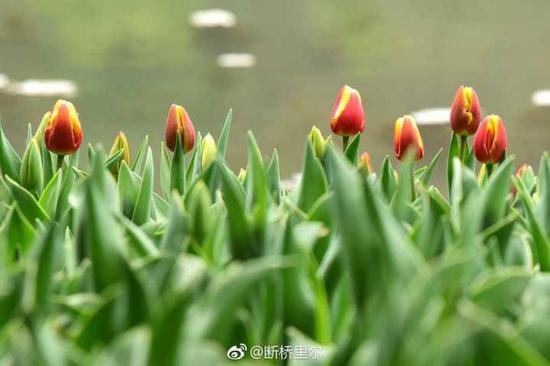 (太子湾第一批郁金香已含苞待放。图片来源@断桥里尔)