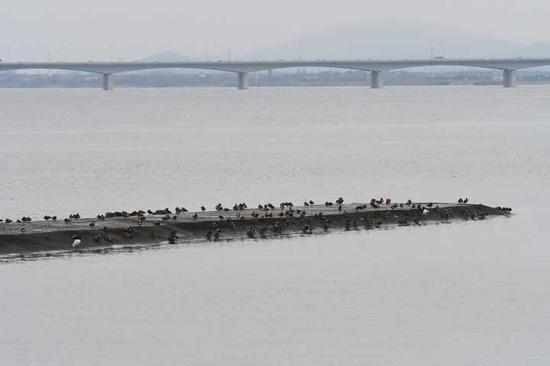九溪可见到200只鸳鸯,东斯3月5日摄