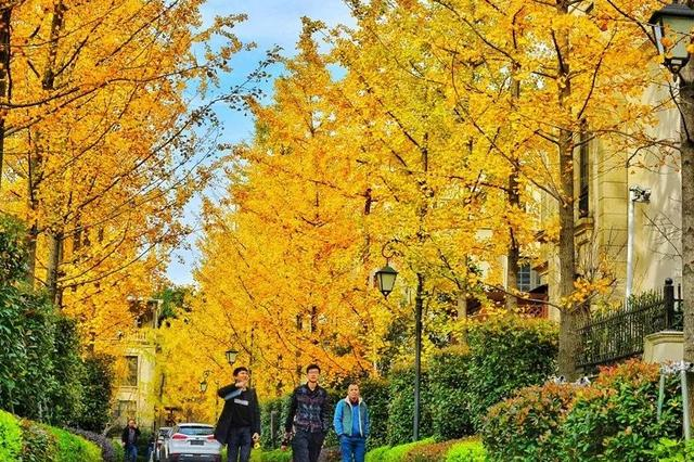 道路两侧银杏树一片金黄 成绍兴市区最美的道路