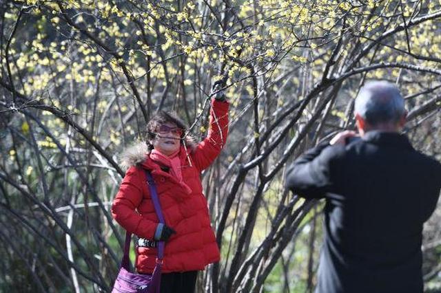 杭州植物园一千多株腊梅迎来花期 花朵香气四溢