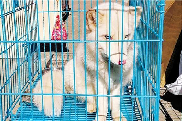 杭州一只小白狐停车场闯入 窝在车底取暖被发现