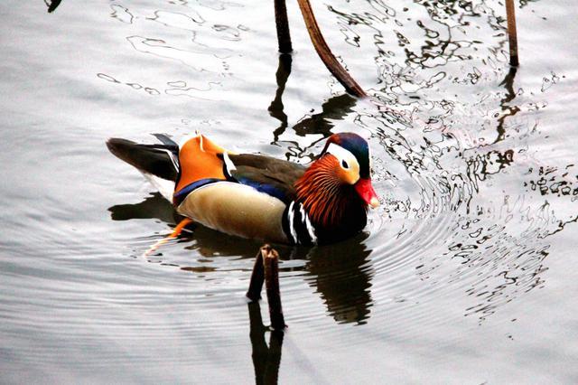 杭州:野鸭鸳鸯结伴游西湖 其乐融融