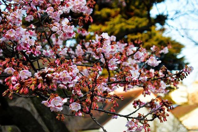 温州大道锦绣路综合整治完成 春天将成为一条樱花带