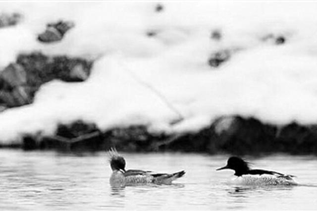 中华秋沙鸭浙江安吉越冬 被称鸟类中的大熊猫(组图)