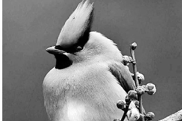 杭州美食太好吃 北方一只小太平鸟吃到飞不动(图)